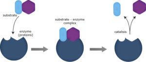 Dibujo proceso enzimático